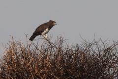 Martial Eagle (1)